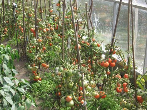Выращивание помидоров в теплице из поликарбоната 31