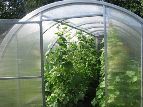Как огурцы выращивать в теплице