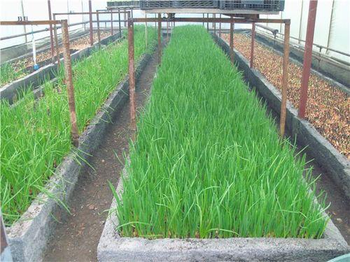Выращиваем зелень в теплице
