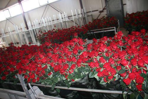 Парник для роз