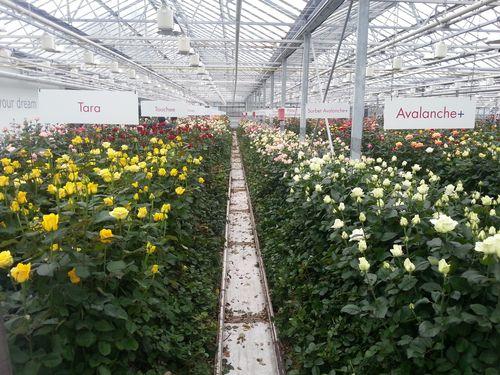 Выращиваем голландские розы