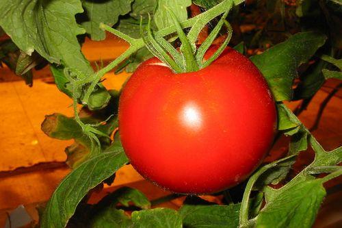 sorta_pomidorov_dlya_teplic_6