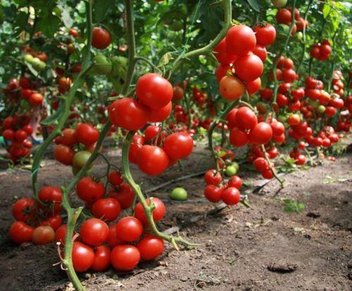 Выбираем сорт помидор