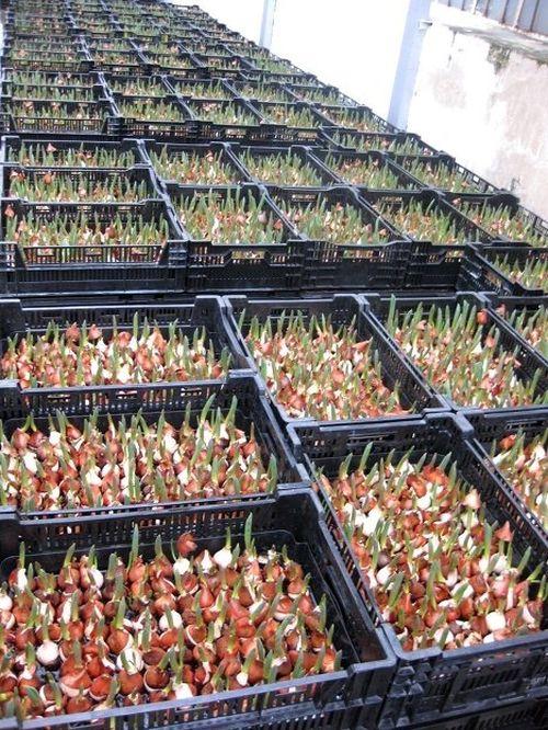 Выращивание тюльпан в ящиках 960
