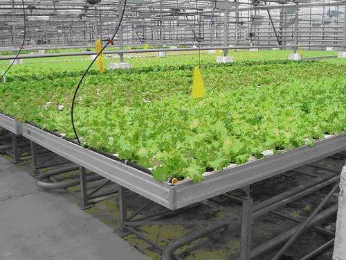Выращивание в теплицах зелени 98