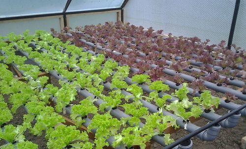Видео о Хризантеме выращивание: уход