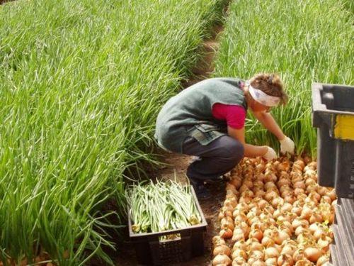 Прибыльный бизнес: выращивание зелени на продажу 22