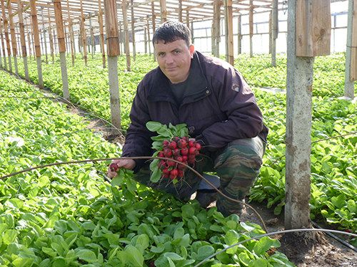 Редис агротехника выращивания в теплице 3