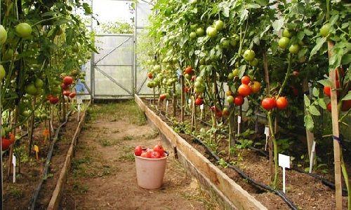 kakie_pomidory_luchshe_sazhat_v_teplice_3