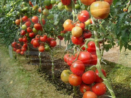 kakie_pomidory_luchshe_sazhat_v_teplice_4
