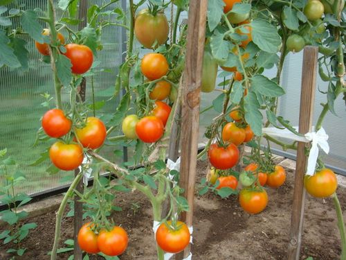 kakie_pomidory_luchshe_sazhat_v_teplice_5