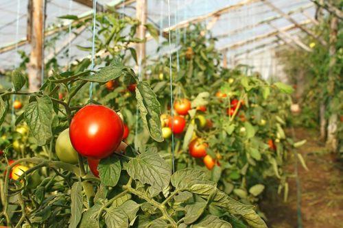kakie_pomidory_luchshe_sazhat_v_teplice_6
