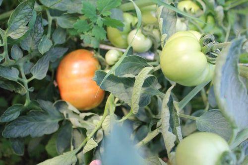pochemu_zhelteyut_listya_u_pomidorov_v_teplice_1