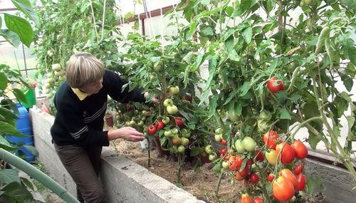 Как сажают помидоры?
