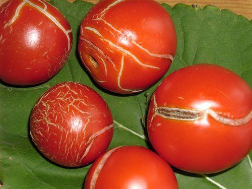 Чем болеют томаты?