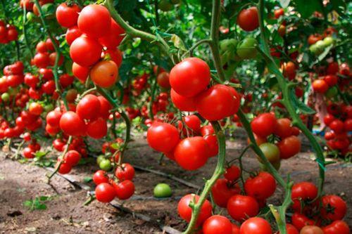 vse_pro_tomaty_v_teplice_2