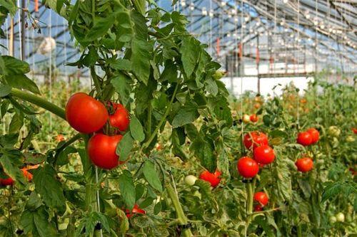 vse_pro_tomaty_v_teplice_6