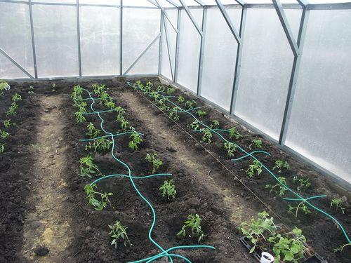 polivat tomaty v teplice_5