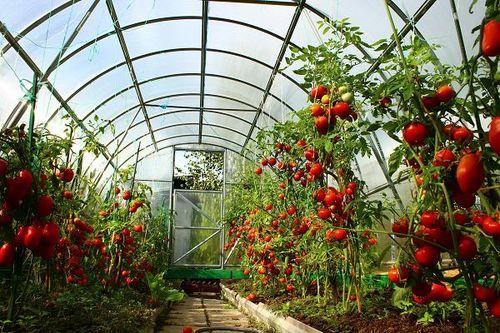 pravila obrezki tomatov v teplice iz polikarbonata_2