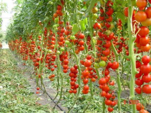 pravila obrezki tomatov v teplice iz polikarbonata_3
