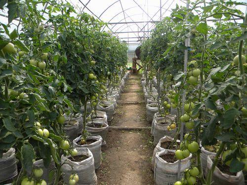 pravila obrezki tomatov v teplice iz polikarbonata_5