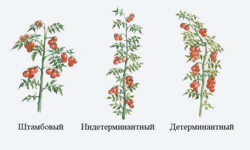 sovety_i_pravila_formirovaniya_tomatov_v_teplice_1