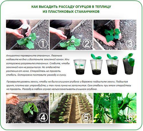 texnologiya_posadki_ogurcov_v_teplice_5