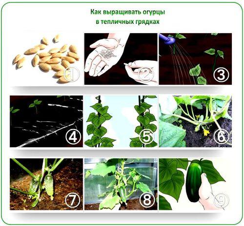 texnologiya_posadki_ogurcov_v_teplice_6