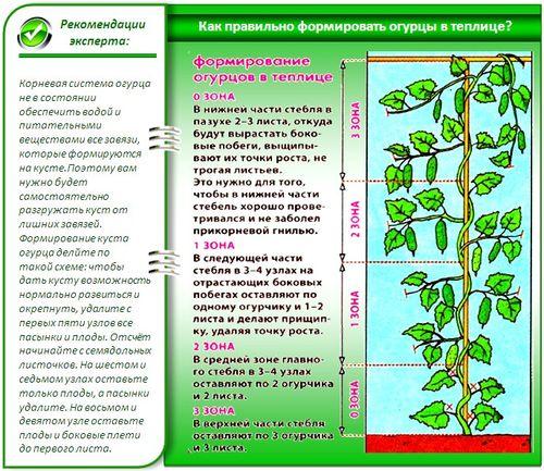 texnologiya_posadki_ogurcov_v_teplice_7