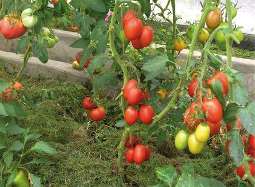cherneyut_pomidory_v_teplice_3