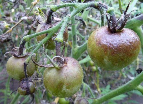 cherneyut_pomidory_v_teplice_4
