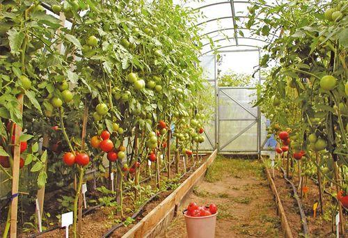 Если чернеют помидоры?
