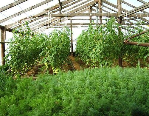 Выращивание морковки в теплице 74