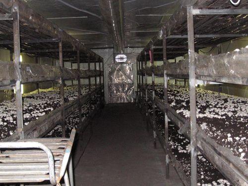 Технология выращивания вешенок в теплице