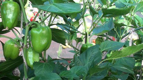 Как выбрать хорошие семена перца для теплицы