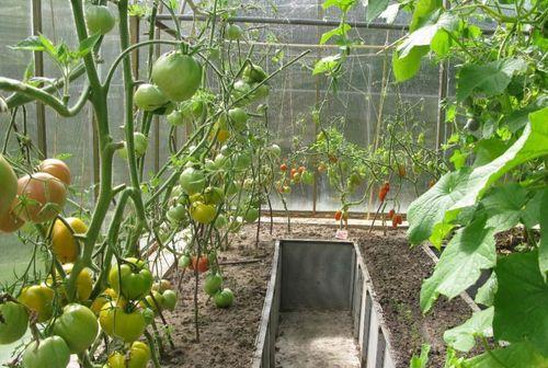 Можно ли сажать рядом с виноградом помидоры 82