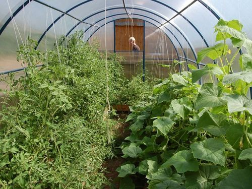 Можно ли выращивать огурцы и помидоры в одной теплице