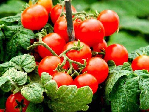 Урожайные сорта ранних томатов для теплицы