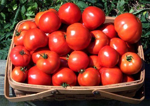 Детерминантные сорта томатов для теплицы