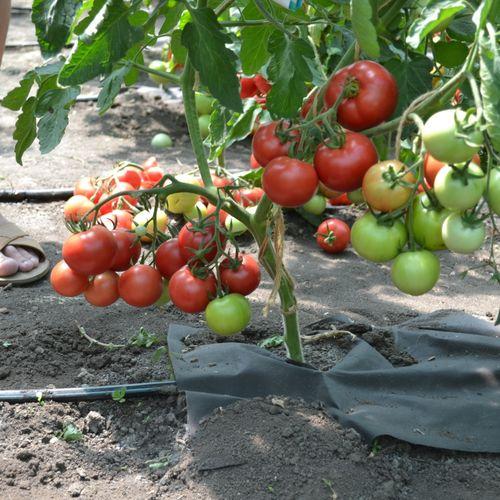 Детерминантный сорт томатов