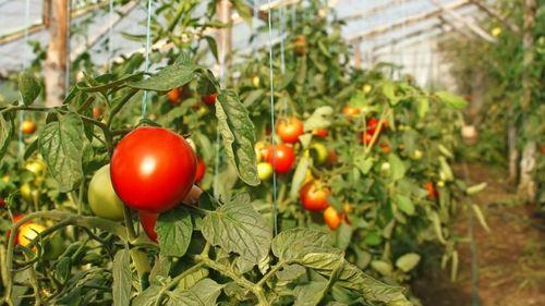 Обзор лучших ранних сортов томатов