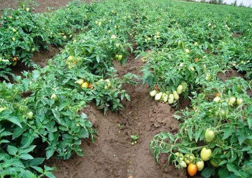 Низкорослые (детерминантные) помидоры
