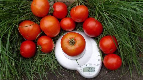 Рейтинг лучших скороспелых сортов томатов
