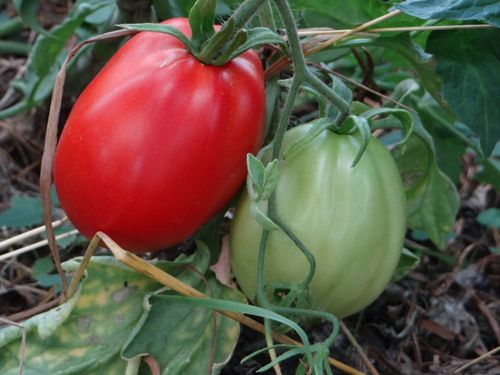 Плоды Абруццо