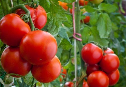 Рейтинг лучших сортов томатов для Урала
