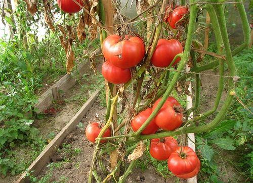 Обзор лучших урожайных сортов сладких томатов.