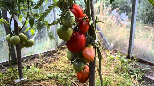 Лучшие сорта тепличных помидор