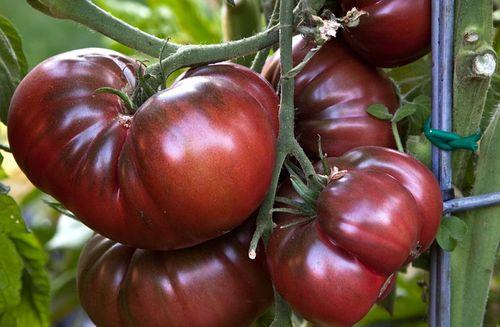 Необычный цвет томата