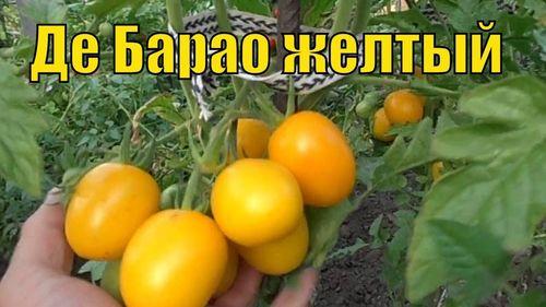 Обзор и характеристики сорта томатов де Барао