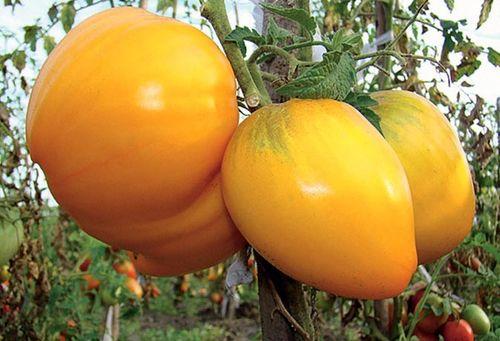 Рейтинг лучших сортов томатов для Сибири